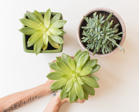 High angle closeup of hands around succulent plants over white background (selective focus)