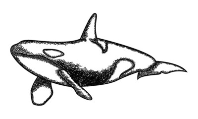 vector illustration of a killer whale in the sea