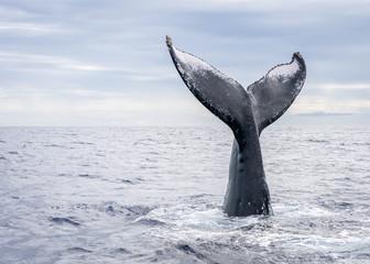 Humpback Whale Vertical Tail Breach Wall mural