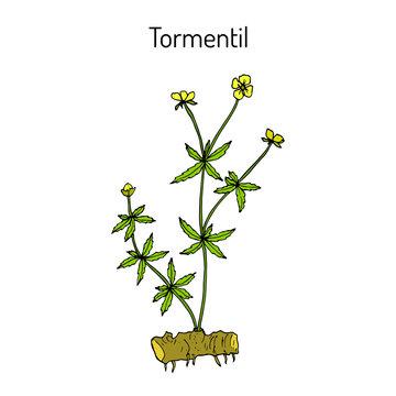 Tormentil Potentilla erecta , medicinal plant