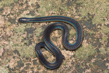 Detail Image of shiny Schmidt's Reed Snake from Borneo , Beautiful Snake