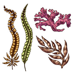 Seaweed isolated vector color sketch icon. Underwater flora, sea water seaweeds aquarium kelp and corals. Hand drawn design element for label, poster and restaurant menu design.
