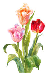 Unusual watercolor tulips. Bright flowers with needle or terry edges isolated on white