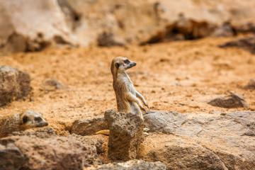 Mongoose in zoo garden