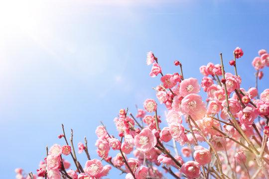 梅-早春-梅林-開花-逆光