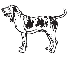 Decorative portrait of Dog Bracco Italiano vector illustration