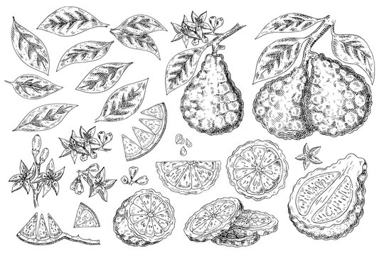 Citrus fruit bergamot  isolated on white background. Hand drawn food illustration. Sketch vintage objects for label, icon, packaging