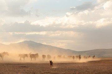 wild horses and cowboys.kayseri turkey