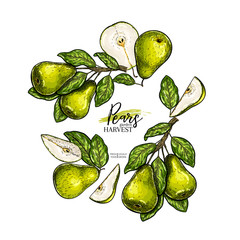 Hand drawn banner of pears. Summer harvest. Vector colored vintage engraved style. Autumn garden fruits and berries. Fall holiday flyer. Thanksgiving, farm festival, food market design.