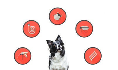 Portrait of a dog with icons of parazites around its head. Cute Black and White Border Collie.