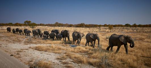 Herd of elephants crossing the Etosha pan