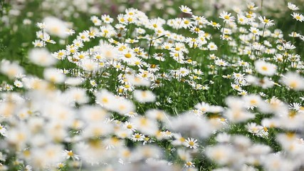 Wall Mural - Summer field with white daisies.