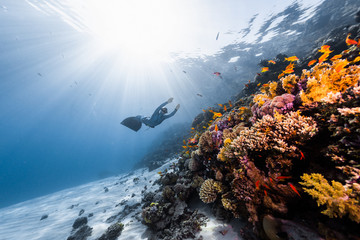 Wall Mural - Woman free diver glides in monofin in the depth towards the colorful coral reef
