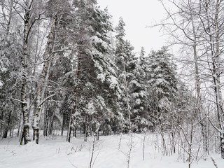 Trees with snow in winter park, snow-covered winter forest