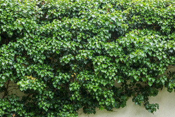 leaves of ivy covering the wall