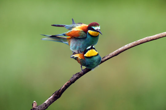 The European bee-eater (Merops apiaster) mating pair on tree.Pair of birds with green background during mating season.