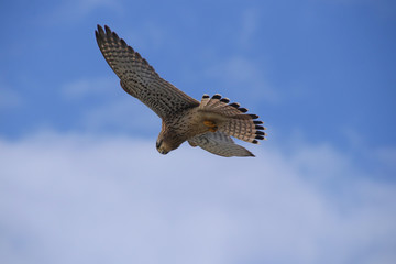 A buzzard is high up in the air looking for a prey on the coast of Paphos - Cyprus