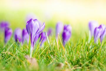 Violet crocus flowers blooming on a meadow