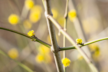 Tree blooming in the spring with yellow sprouts