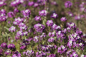 Field flowers forget-me-nots.