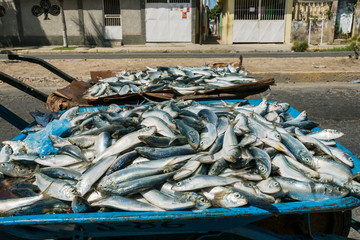 Large group of fresh sardines