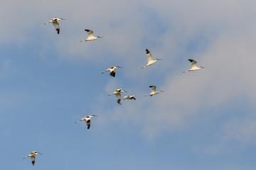 pied avocet (recurvirostra avosetta) in flight