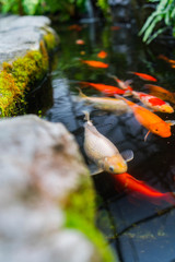 Coy Fish in a pond