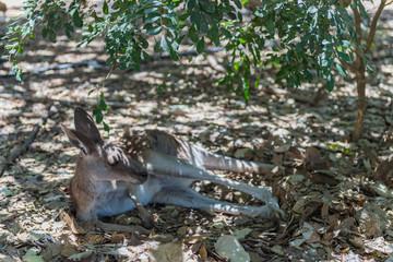 Känguru liegt faul im Schatten