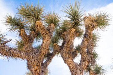 Joshua tree treetop in Joshua Tree National Park, California, USA.