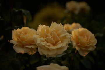 Fotobehang White rose in a garden