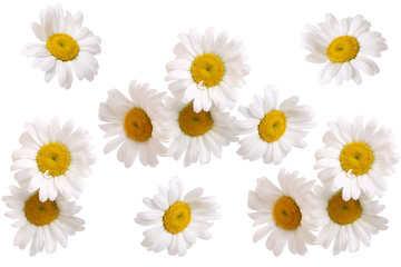 set of daisy flowers isolated on white background