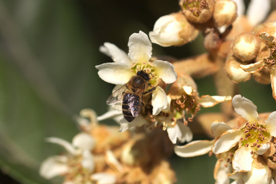 A bee collecting pollen among the flowers of a medlar