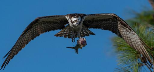 Fototapete - Osprey