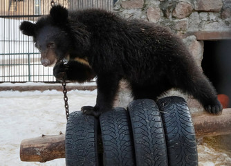 Yashin, a one-year-old Himalayan bear cub, plays inside an open-air cage as he wakes up after winter hibernation at the Royev Ruchey Zoo in Krasnoyarsk
