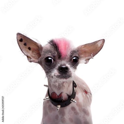 Punk Style Peruvian Hairless And Chihuahua Mix Dog With Tattoo And