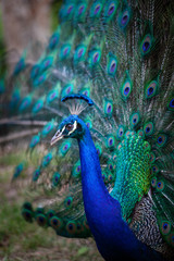 Peacock closeup - vertical image