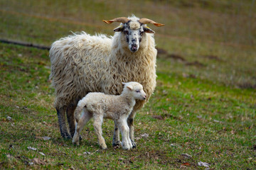 Fototapete - sheep and her baby newborn lamb