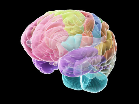 3d rendered medically accurate illustration of the sections of the human brain