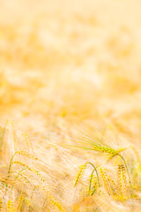 Agricultural Cereal Plant Background / Single grain ear at golden field background (copy space)