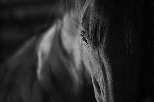 dark bay horse close up of eye