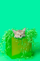 Sleeping Kitten in green Birthday gift box, green background.