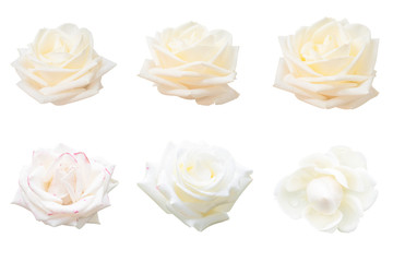 Blurred for Background.White rose isolated on the white background. Photo with clipping path.