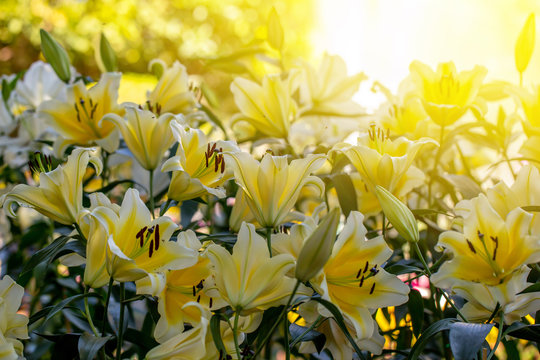 The yellow lilly flowers in the garden with green leaves background in the sunny day.
