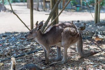 Seitenansicht eines Känguru im Schatten
