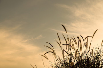 Closeup of tropical grass flower with twilight cloudy sky background in the evening. Wall mural