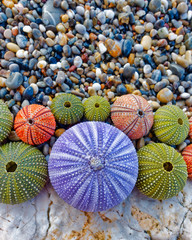 viarous colorful sea urchins shells top view