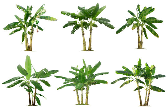 Banana trees collection isolated on a white background for garden design.