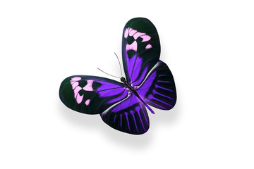 tropical purple butterfly. isolated on white background