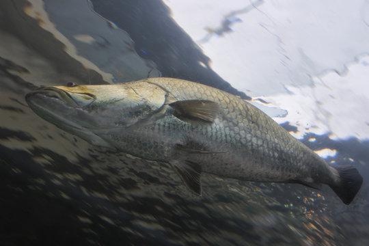 Australian barracuda fish swimming underwater