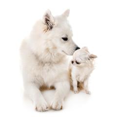 Samoyed dog and chihuahua